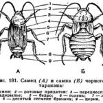 Иллюстрация №1: Тараканы, Синантропные виды мух (Рефераты - Биология).
